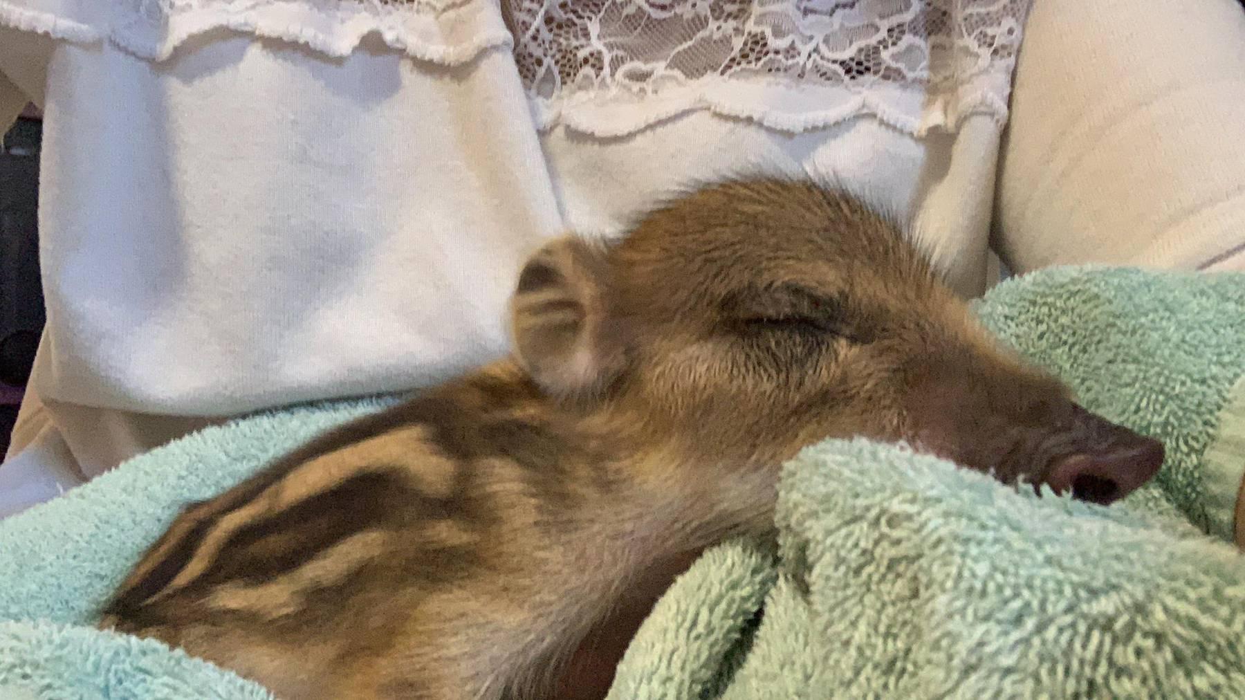 Das kleine Wildschwein Josie wurde im Tierlignadenhof in Kaisten abgegeben; es darf nicht leben.