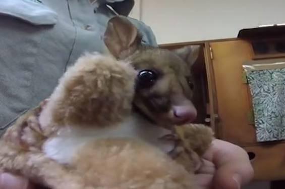 Ersatz-Mama: Verwaistes Beuteltier-Baby kuschelt sich an Plüsch-Känguru