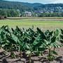 Die Regionale 2025 sorgte im Rahmen ihrer Zwischenschau mit einer Bananenplantage für Aufsehen.