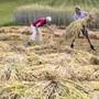 Claudia und Ruedi Kuenzi trocknen das Getreide fuer Stroh - Trinkhalme am Mittwoch, 3. Juli 2019, in Maschwanden. Familie Kuenzi produziert seit 30 Jahren Stroh fuer Dekogetreide. (KEYSTONE/Alexandra Wey)