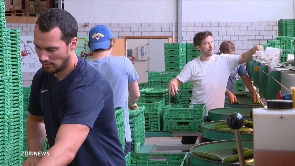 ZSC-Spieler helfen bei der Gurken-Ernte