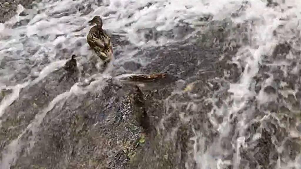 Feuerwehr rettet Enten vor dem Ertrinken