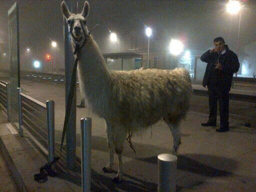 Stadtbummel mit Serge dem Lama