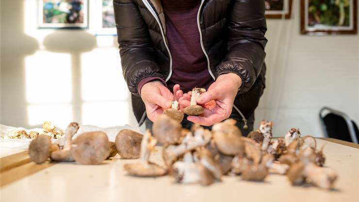 Pilzkontrolleure sortieren faule und giftige Pilze aus. Symbolbild Sandra Ardizzone