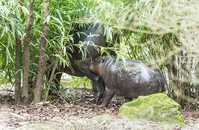 Bei ihrer Geburt wog Nyande nur etwas über fünfeinhalb Kilogramm und war etwa so gross wie ein Kaninchen.