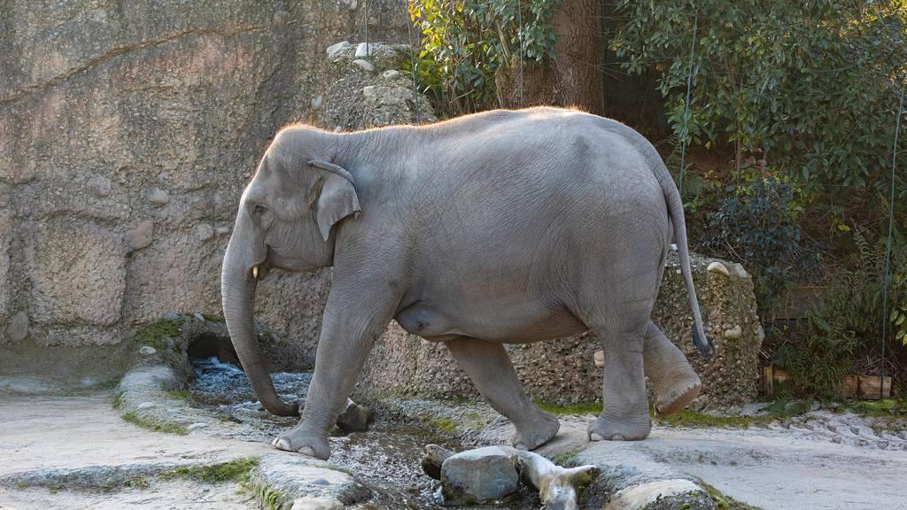 Elefantenbaby im Zoo Zürich stirbt kurz nach der Geburt