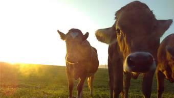 Mehrere Tiere im Kanton Solothurn waren mit kranken Rindern in Kontakt gekommen.