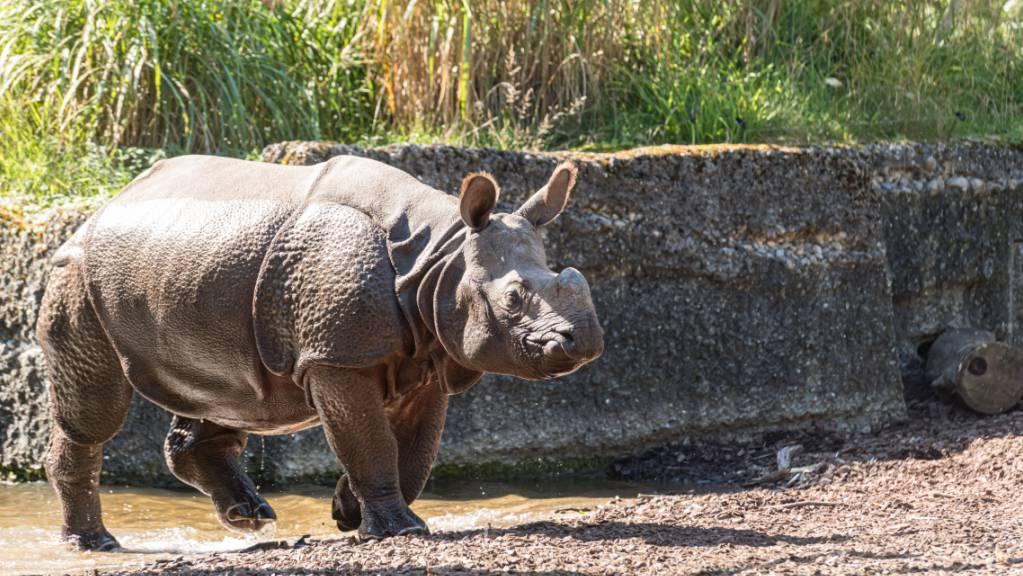 Panzernashorn-Kuh Shakti erkundet ihr neues Zuhause im Basler Zoo.