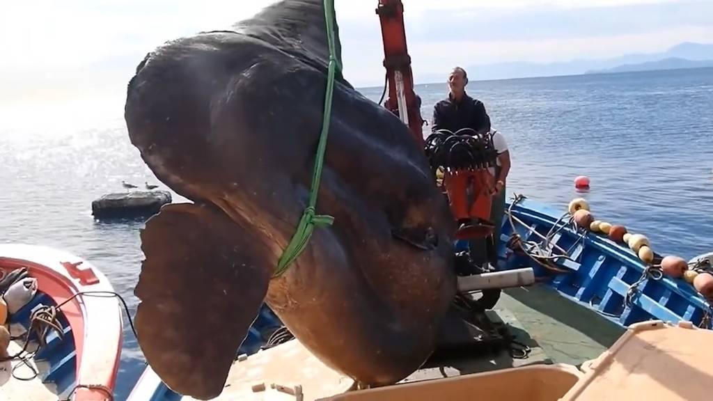 Fischer fangen riesigen Mondfisch im Mittelmeer