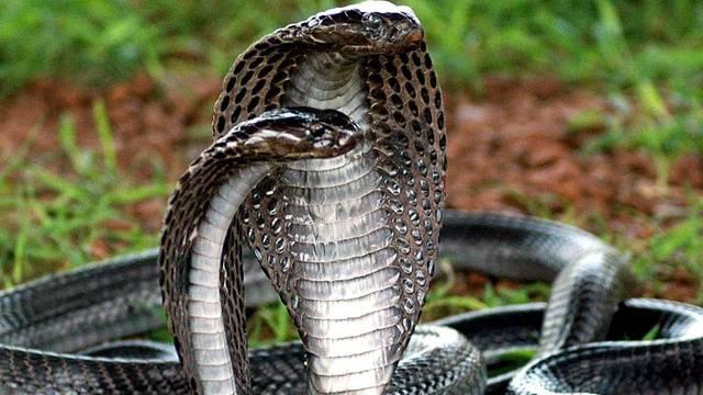 Wo Leben Kobras