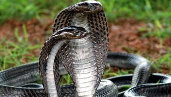 Eine Kobra-Schlange kroch ins Raubkatzengehege und tötete einen weissen Tiger (Symbolbild)