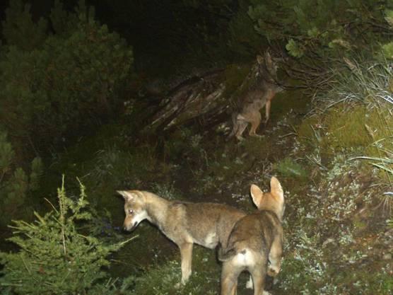 Eine Rudelbildung wie die Jungwölfe im Calanda-Gebiet ist auch im Wallis und Tessin möglich.