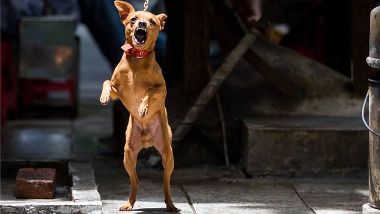 Trotz obligatorischer Hundekurse hat die Zahl registrierter Hundebisse in den letzten Jahren zugenommen.