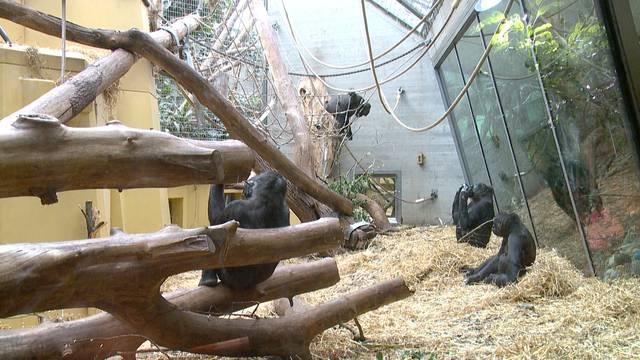 Älteste Gorilla-Dame des Zoo Zürich ist tot