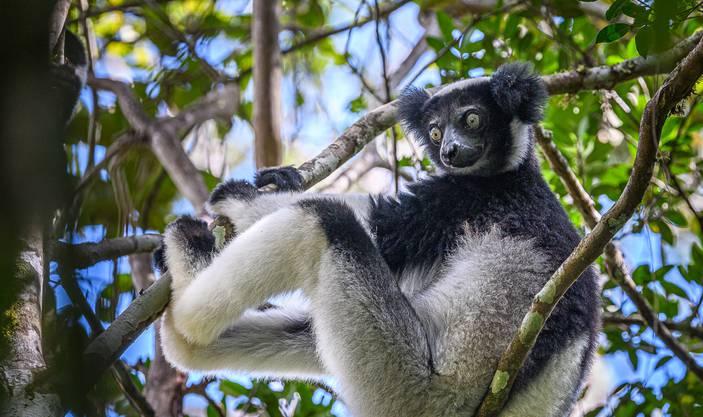 Die Indris, die zu den Lemuren gehören, leben im Regenwald von Madagaskar.