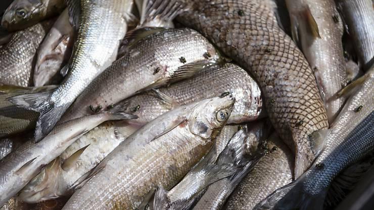 Insgesamt sind drei Tonnen verendete Fische aus dem Rhein entsorgt wurden. Ein Fischfangverbot für Äschen und Forellen gilt ab 1. Okobter - vorerst für ein Jahr.