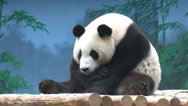 Diese Pandas sind genauso «Gfrörlis» wie wir