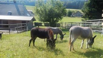 Hier fühlen sich Esel pudelwohl. Bei Eselmüller, dem Hof von Edith und Wolfgang Müller in Grasswil, wo man die Ausbildung zum Eselführer absolvieren kann.