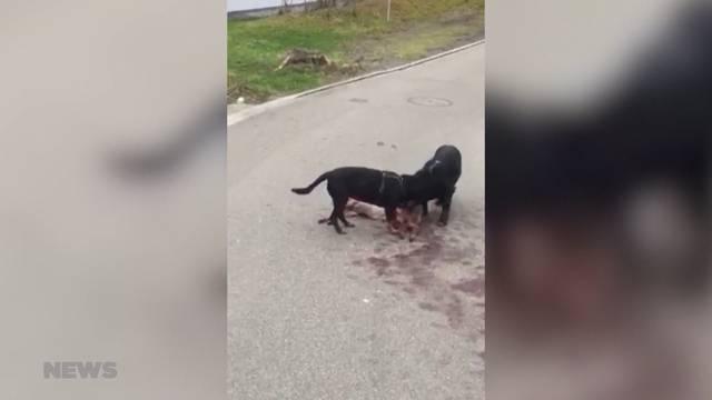 Eine Gruppe von Hunden reisst Reh