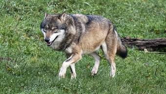 Ein Wolf im Tierpark Goldau.