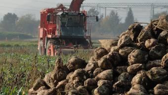 Bis diese Zuckerrüben von Kaisten zum Verlad beim Bahnhof Stein gebracht werden können, dauert es noch rund einen Monat. Foto: Walter Christen