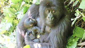 Das Berggorilla-Weibchen Anangana im Virunga-Nationalpark mit ihrem Neugeborenen im Arm.