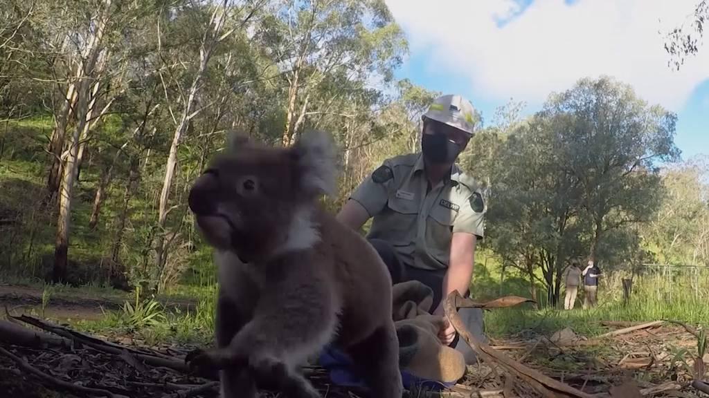 Gerettete Koalas werden nach Buschbränden wieder ausgewildert
