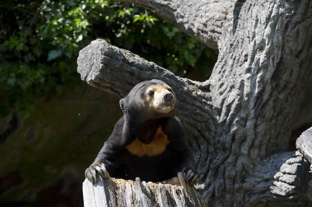 Malaienbär: Die Tierschutz-Kritik am Bärengehege ist kurz und knapp: Dieses sei schlicht «nicht zeitgemäss». Der Zoo hat das eingesehen. Nach dem Ableben des einzigen Bären in Basel ist Schluss mit Bärenhaltung.