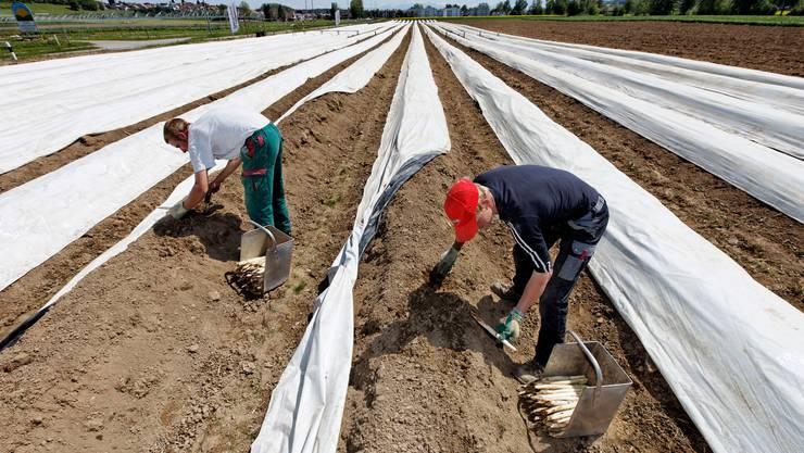 Damit die Ernte auch dieses Jahr gelingt, brauchen Bauern zahlreiche Hilfskräfte. Das Bild zeigt eine Spargelernte in Waltenschwil vor einigen Jahren.