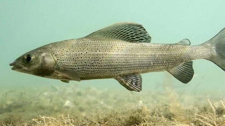 Schweizer Bauern möchten auf die Fischproduktion umsteigen. Im Bild eine Aesche in freier Wildbahn.