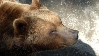 Trostlos: Dieser Berner Bär freut sich bestimmt schon auf das neue Bärengehege.