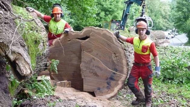 Mitarbieter des Forstamtes bei der umgestürzten Eiche.