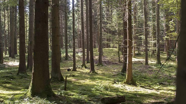 Bäume im Wald tauschen sich mehr aus als bisher angenommen. Nicht nur können sie über Duftstoffe kommunizieren, über die Wurzeln gelangt auch Kohlenstoff von einem Baum zum nächsten. (Archivbild)