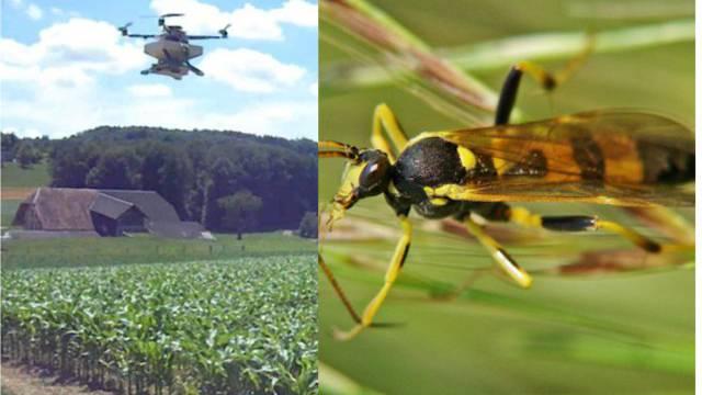 Agrar-Drohnen von Fenaco bringen Schlupfwesen in Maisfelder.