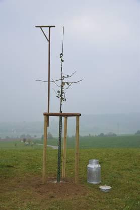 Im Cholhufe, hoch über dem Dorf, kann der Setzling nun zu einer stattlichen Linde gedeihen. Der Baum kann bis 40 Meter hoch werdne.