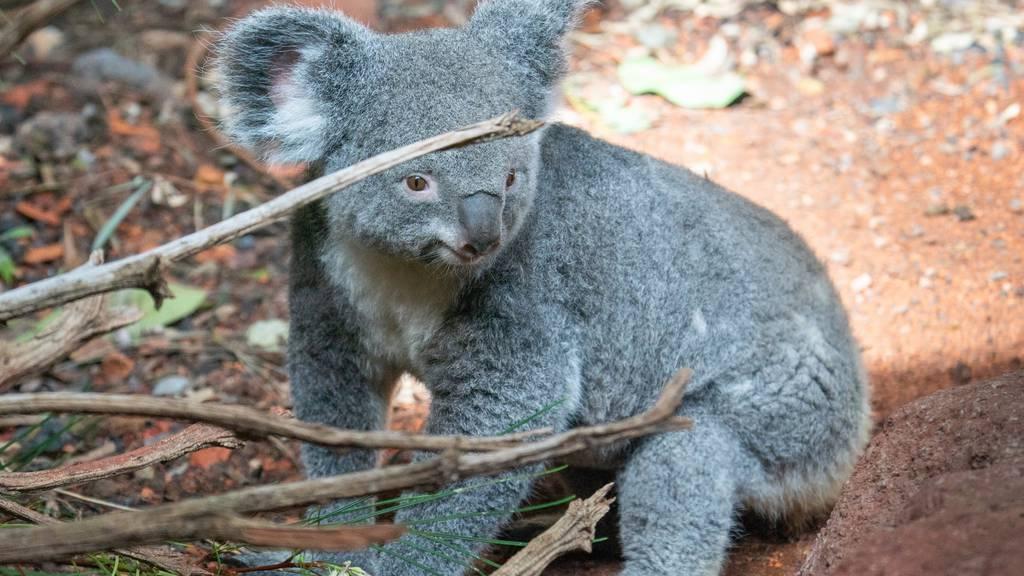 Koala Pippa hat zum ersten Mal Nachwuchs bekommen