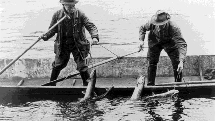 Grosser Fang: Fischer ziehen 1905 mehrere Lachse aus dem Rhein. ZVG