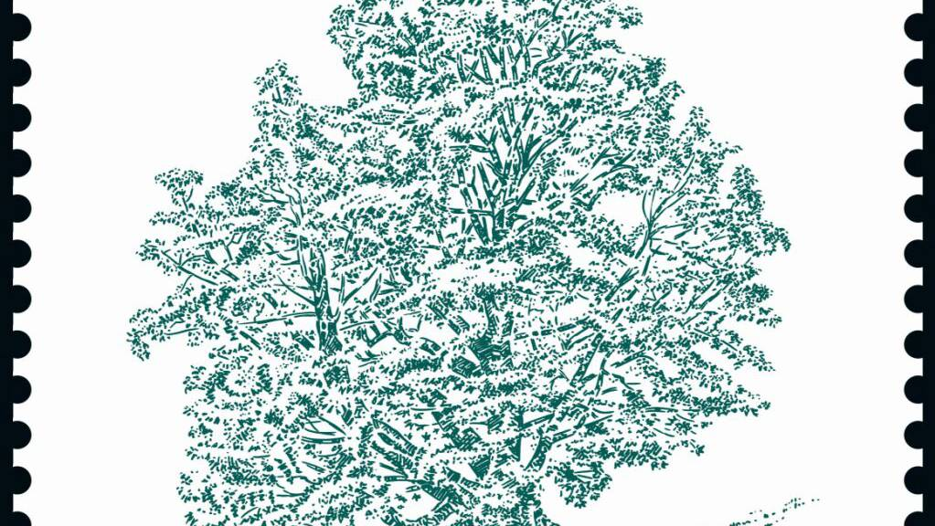 Uralte Bäume auf einer Briefmarkenserie: Dieser Bergahorn am Stanserhorn hat einen fast zehn Meter dicken Stamm.