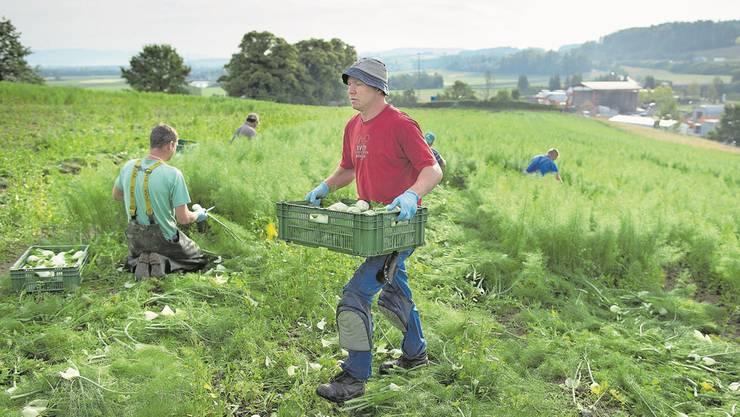Die Zuwanderung osteuropäischer Arbeiter könnte ansteigen. Im Bild Erntehelfer in Kerzers. Gaëtan Bally/Keystone
