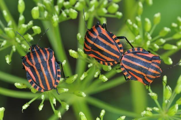 Die Streifenwanze kann auf wilden Rüebli beobachtet werden. Dort saugt sie Pflanzensäfte und ist trotz des Namens absolut harmlos.