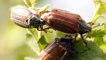 Nicht nur Bienen, sondern auch andere Insekten scheinen zunehmend auszusterben. Wie gross das Ausmass in der Schweiz und wieso die Tiere aussterben, ist noch unerforscht. Mehrere Organisationen lancieren daher eine Petition zur wissenschaftlichen Aufklärung des Insektensterbens. (Symbolbild)