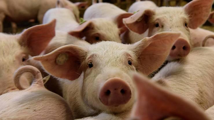 Die Afrikanische Schweinepest ist für die Tiere tödlich, für Menschen aber ungefährlich. (Symbolbild)