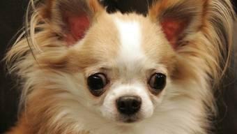 Ein Chihuahua-Halter nahm seinen Hund trotz Dunkelheit nicht an die Leine – mit unangenehmen Folgen. (Symbolbild)