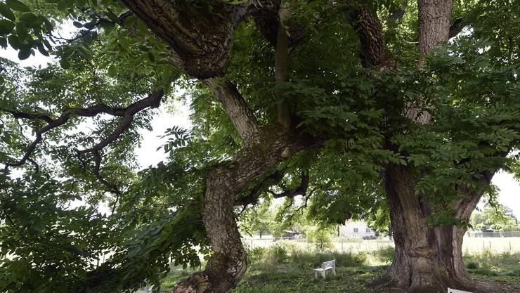 Als Ersatz soll ein Nussbaum (Bild) und ein Spitzahorn dienen.