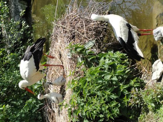 Familie Storch geniest den milden Frühlingstag