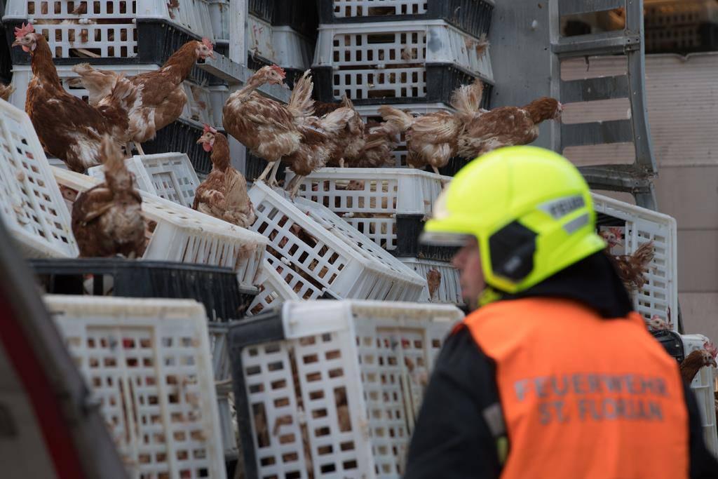 Hühner auf Autobahn (© Keystone)