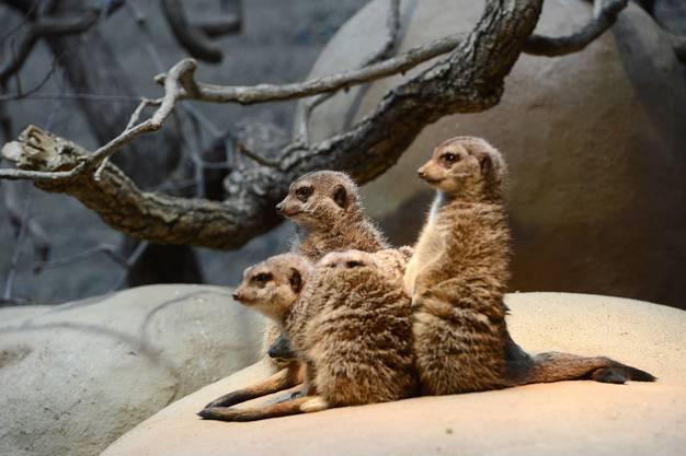 Erdmännchen: Sie wohnen in der ebenfalls ziemlich neuen Etoscha-Anlage mit den Stachelschweinen zusammen. Für den Tierschutz im «natürlichen und abwechslungsreichen Untergrund» ideal.