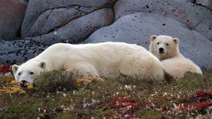 Mit diesen putzigen Tieren ist nicht zu spassen. Nach einer Halloween-Nacht wurden zwei junge Frauen in Churchill von einem Eisbären getötet.