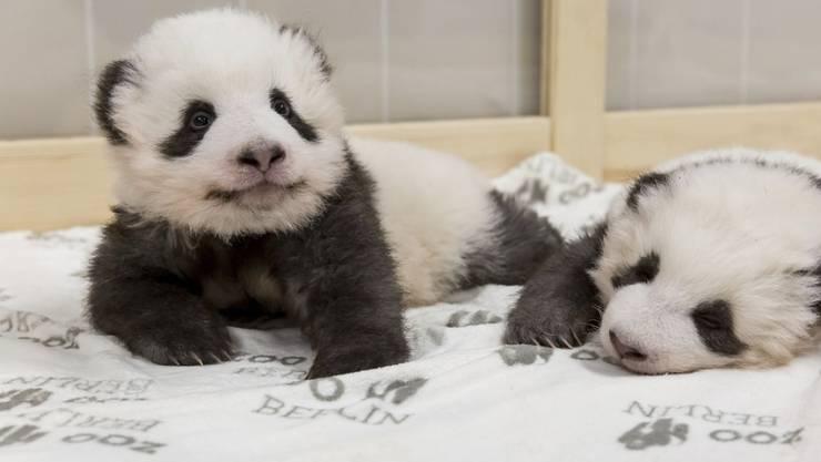 Die beiden Panda-Zwillinge vor einer Woche im Berliner Zoo. (Archivbild)