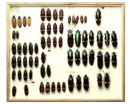 VitrinePrachtskäfer